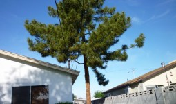 Large Pine Tree - Before Pine Tree Removal - Endangering Power Lines